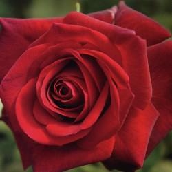 Rosal Edith Piaf