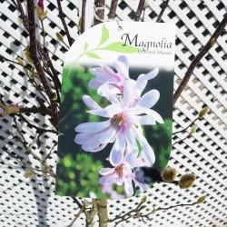 Magnolia leonard messet