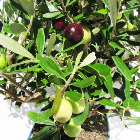 Olivera pre-bonsái