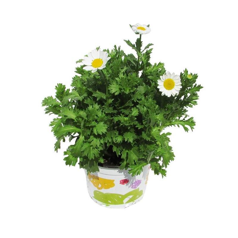Crisantemo Paledosum