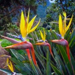 Strelitzia reginae mandela's gold