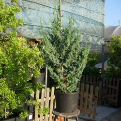 Juniperus Chinensis Blue Alps