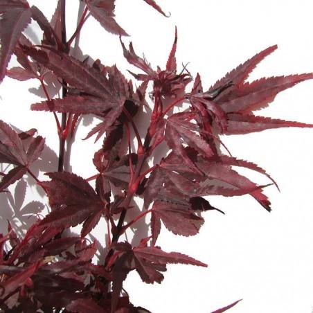 Acer Palmatum Shaine