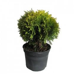 Tuya  occidentalis danica aurea