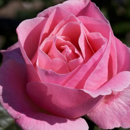 Rosal queen elizabeth