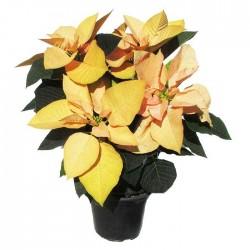 Poinsettia cinnamon star