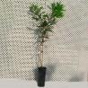 Macadamia beaumont