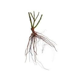 Rosal hippy raíz desnuda
