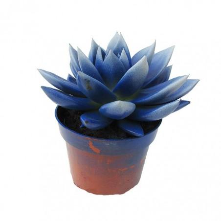 Cactus echeveria pintados