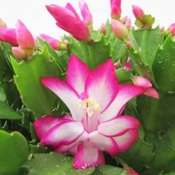 Cactus rhipsalis
