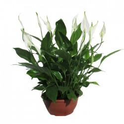 Spathiphyllum chopin