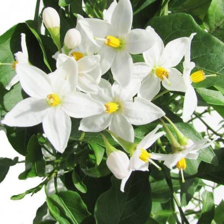 Solanum jazminoide