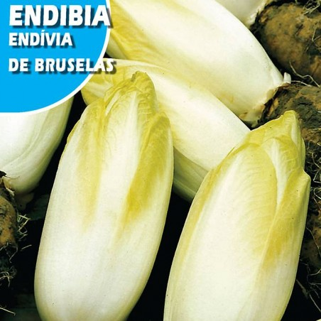 ENDIBIA DE BRUSELAS WITLOOF