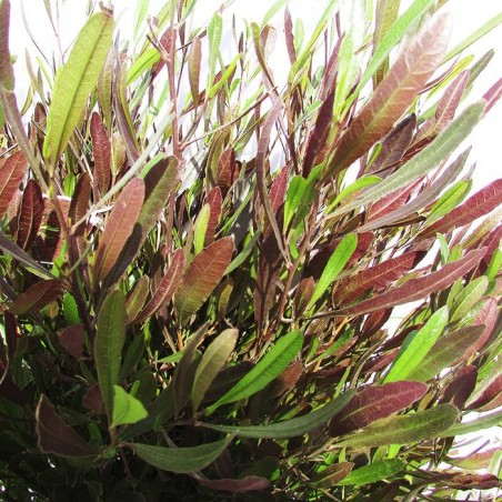dondonea viscosa purpurea