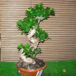 Ficus ginsend espiral