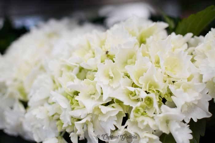 Como cuidar las hortensias de exterior trendy elegant great interesting hydrangea with cuidado - Como cuidar las hortensias en maceta ...