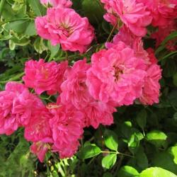Rosal lovely fairy