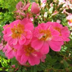 Rosal mini pink