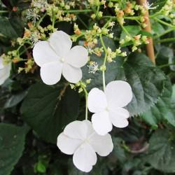 Hortensia trepadora petiolaris