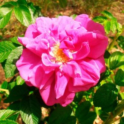 Rosal rugosa hansa