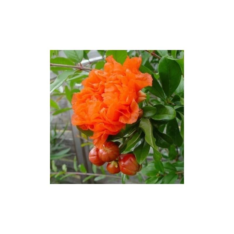 Resultado de imagen de granado en flor