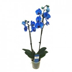 Orquídea phalaenopsis royal blue
