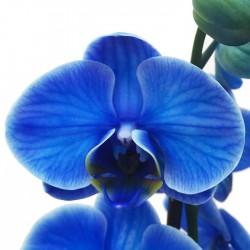 Orquídea phalaenopsis royal...