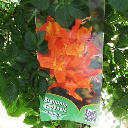 Bignonia capenis