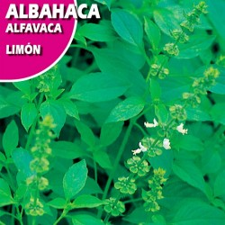 Semillas albahaca limón