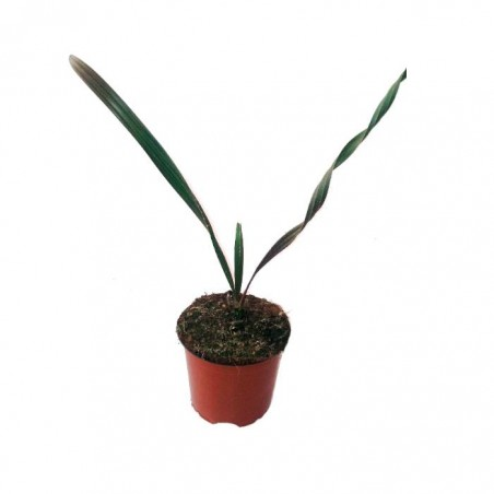Livistona mariae