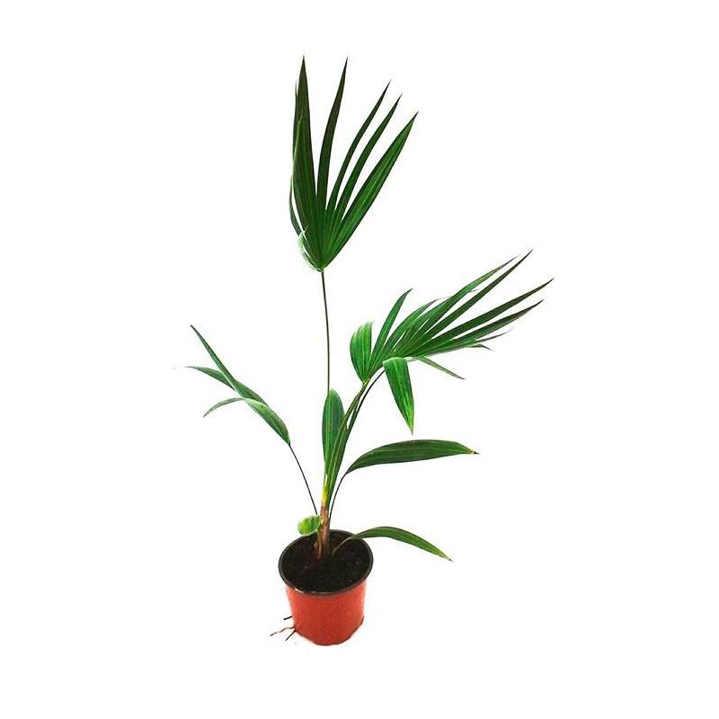 Trithrinax parviflora palma de escoba palmera de escoba - Escobas de palma ...