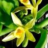 Orquídea vainilla