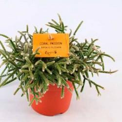 Cactus rhipsalis pilocarpa