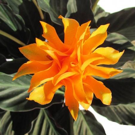 Calathea crocata