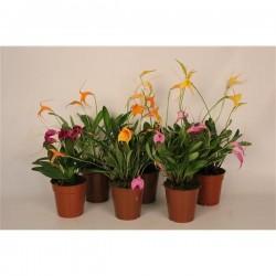 Orquídea masdavallia