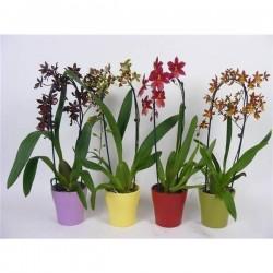 Orquídea cambria en cascada