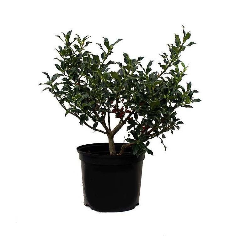 Ilex Aquifolium Alaska