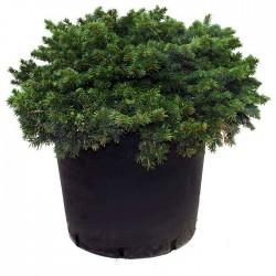 Picea Marioca Machala
