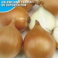 Cebolla Valenciana Tardia de Exportacion