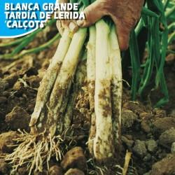 Cebolla Blanca Grande Tardia