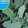 Nabo Nabicol