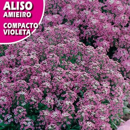 Aliso compacto violeta