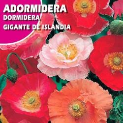 ADORMIREA GIGANTE DE ISLANDIA