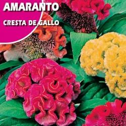 AMARANTO CRESTA DE GALLO
