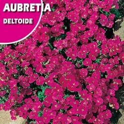 AUBRETIA DELTOIDE