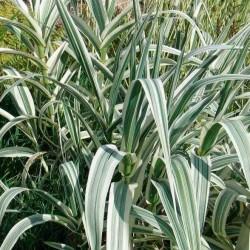 Arundodonax variegata