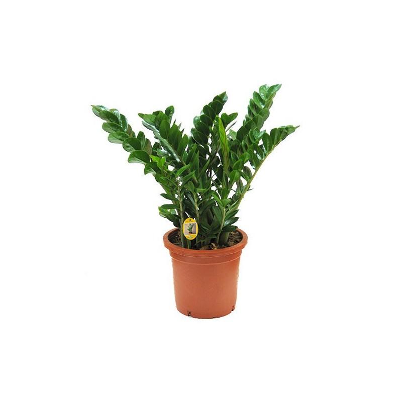 Zamioculca for Plantas de interior precios