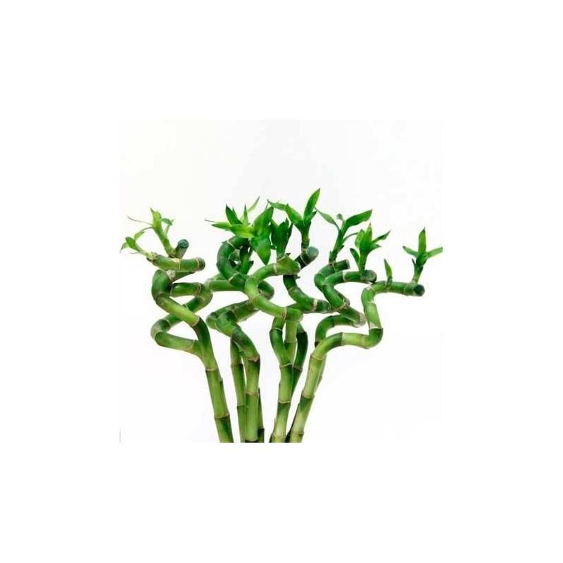 Bambú de la suerte espiral|lucky bamboo|bamboo de la suerte|bambú ...