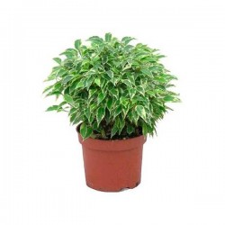 Ficus Lovely