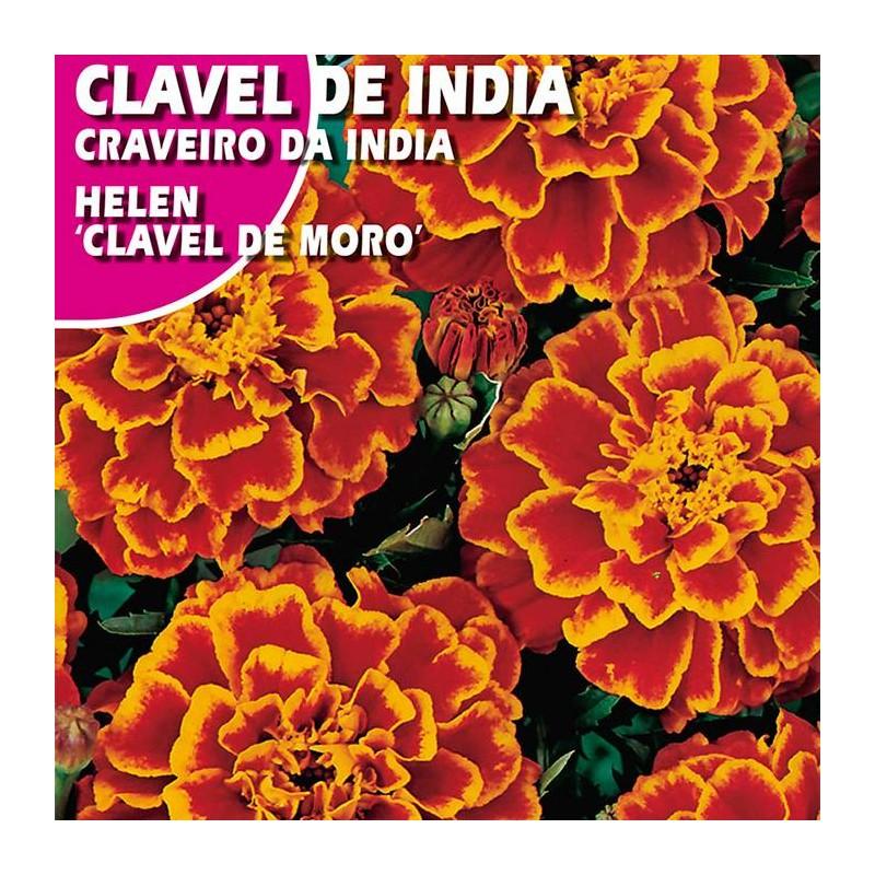 """CLAVEL DE INDIA HELEN """"CLAVEL DE MORO"""""""